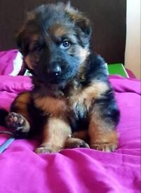 German Shepherd Pure Bred pup GIRL