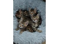 ALL RESERVED Bengal x Kittens for Sale - PENDING SALE