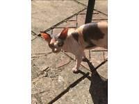 Lost cat in Woolston Southampton
