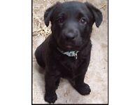 Black Female Borador Puppy for sale