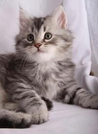 Silver female long hair kitten
