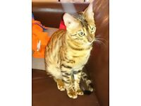 Missing: Bengal Cat - Timmy