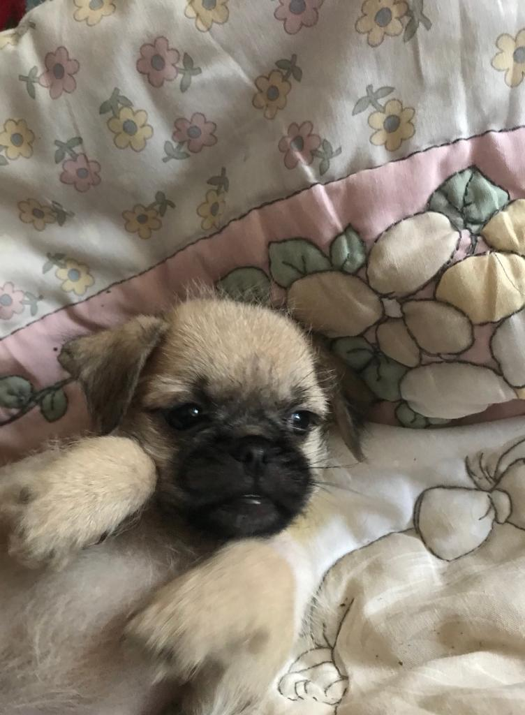 Adorable Bishon X Pug puppy's 7 little sisters