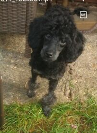 Beautiful female pedigree toy poodle