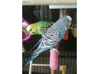 2 girl budgies xl cage with toys and feeders