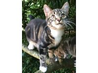Missing - male dark tabby/white cat in Shurdington Rd/Sandy Pluck Lane/Bentham area of Cheltenham