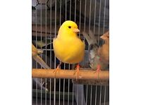 Young 2016 Canaries For Sale