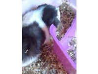 1year old male guinea pig