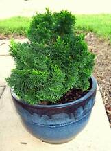 Pot and dwarf conifer Arcadia Hornsby Area Preview