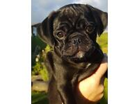 3/4 Pug Puppies Ready Now .