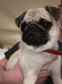 5 Pushon puppies for sale (Bichon Frise/Pug cross)