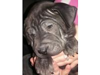 staffy cross sharpei pups