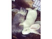 Giant rabbits, german rabbits