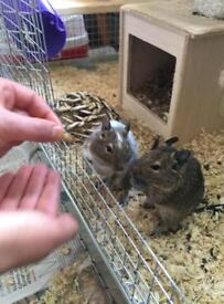 Two male degus and cage