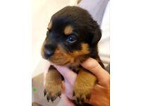 Pure Pedigree Rottweiler Puppies