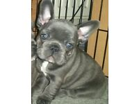 STUNNING HEALTHY BLUE FRENCHY PUPS