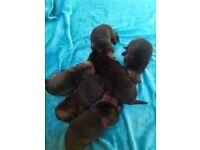 KC reg German shepherd puppies (Czech bloodline) for sale