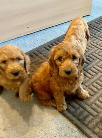 Cockapoo puppies boys and girls now ready for new homes