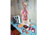 Anatomical Torso Model 3B