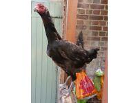 Large shamo hen (not asil aseel)