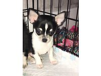 **READY NOW** Smooth Coat Male Chihuahua