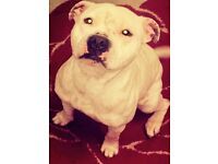 Beautiful white staffy for sale