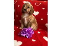 Ready Now Cavapoo bitch girl puppy small dog Poodle x red Apricot toy non moulting cute teddy like