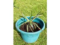 YUCCA PLANT SMALL FOR YOUR GARDEN ETC