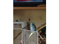 PARROTLET FULL OF CHARACTER NEEDS NEW HOME
