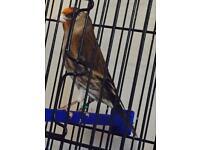 Goldfinch mule bird for sale