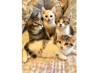 Beautiful sweet kittens ready now