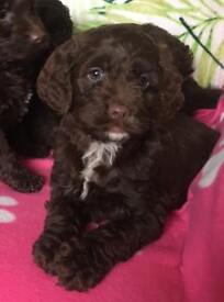 Chocolate Spoodle springer cross poodle