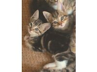 only TWO beautiful bengal x kittens left for rehoming