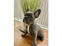 Beautiful Blue French Bulldog (Lexie)