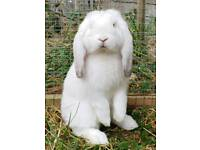 FRENCH LOP BABY BUNNY RABBIT - WHITE WITH SILVER
