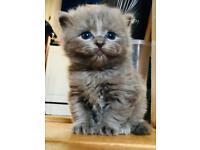 Super fluffy female kitten has found a cosy home