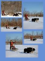 retiring NEWFOUNDLAND / TERRENEUVE kennel show/expo equip