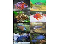 Mixed Malawi Cichlids | 2-2.5 Inch = £5.10 | 3-4 Inch = £7.50 | Videos available.
