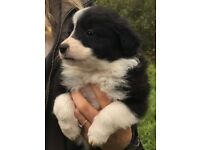 Border Collie puppies ready now