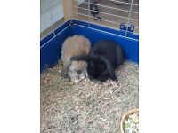 Two Female Bunnies Free to a Good Home