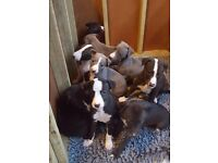 Beautiful KC Whippet Puppies for sale