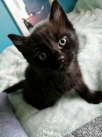 Tiffany black kitten for sale
