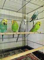 English and Crested Budgies for Sale