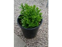 Garden plants in pots - Mint herb, decorative grass and hardy Hosta flower
