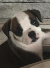 2 beautiful female bulldog puppy's for sale