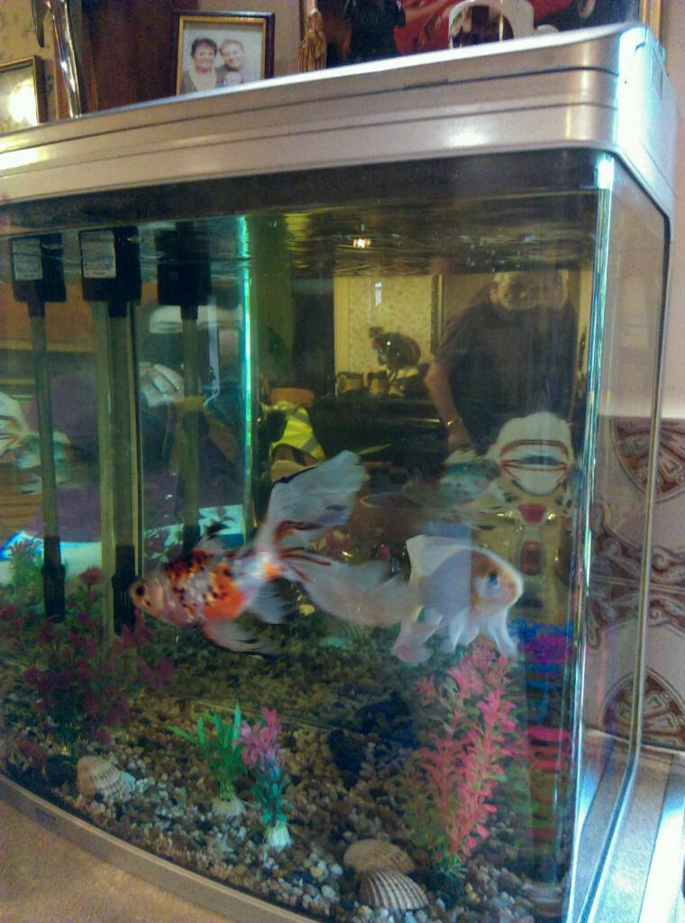 Large Fancy Fantail Goldfish And 130 Litre Aquarium Tank For