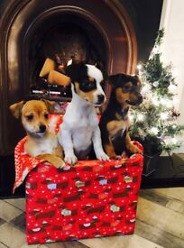 Gorgeous Jackawawa Chihuahua X Jack Russell Puppies Now Available