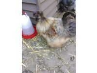 Flock of Silkie Chickens