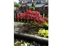 Japanese maple, Accer Palmatum Approx 21 cm tall