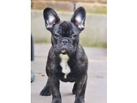 Beautiful French Bulldog puppy for sale